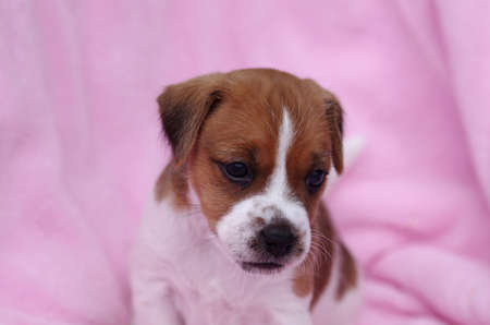 little puppy of the dog breed jack russell