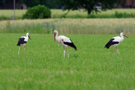 three adult storks on a green meadow