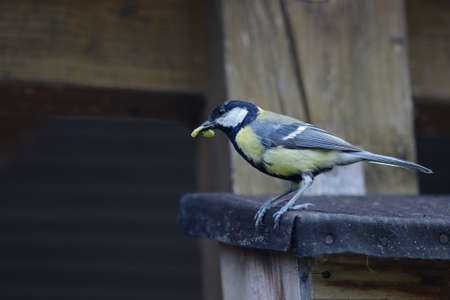 the great tit has a caterpillar in its beak for its offspring