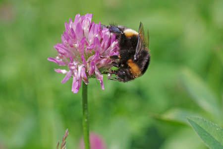 a bumblebee is sitting on a clover blossom and collecting nectar Standard-Bild
