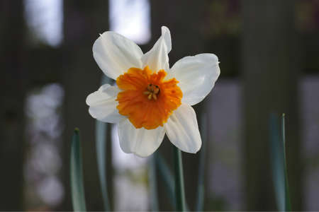 the pretty flower of a white narcissus with orange petals in the middle