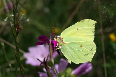 bright yellow brimstone drinking nectar from a flower