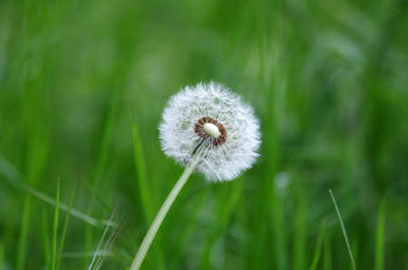 a single, pretty dandelion against a green background Standard-Bild