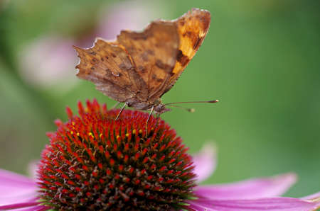 a close up of the comma butterfly on a coneflower Standard-Bild