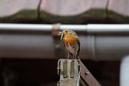 a robin has its beak full of insects for its offspring