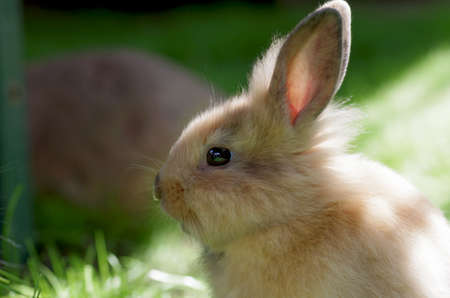 a portrait of a young, cute, brown domestic rabbit. the sunlight illuminates her fluffy fur.