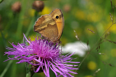 the meadow brown butterfly sits on a pink flower and drinks nectar