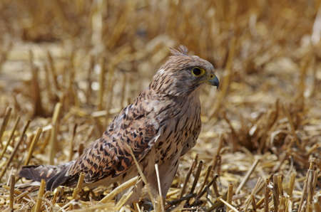 close up of a young kestrel with its red brown plumage Standard-Bild