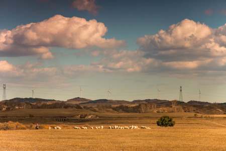 Sheperd guiding herd of sheep in a field