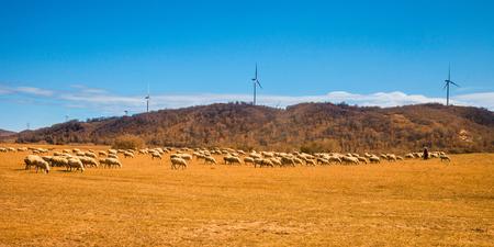 Herd of sheep grazing in the field