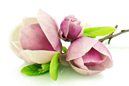 Magnolia flowers on a white background