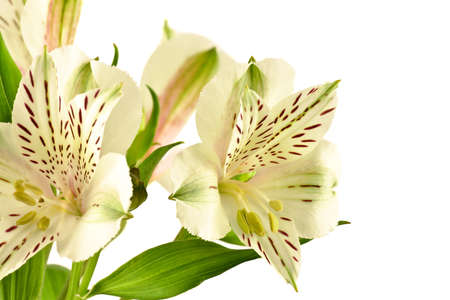 alstromeria: Alstroemeria on a white background Stock Photo