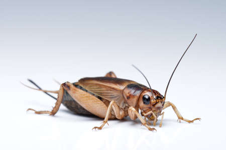 cricket insect: House cricket Stock Photo