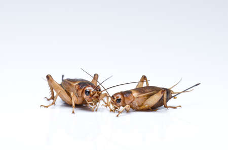 cricket insect: Crickets Stock Photo