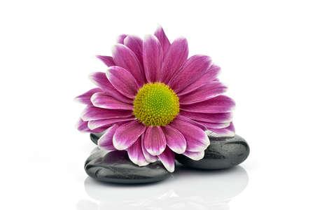 obrero: Crisantemo con piedras para spa