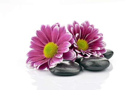 obrero: Crisantemos con las piedras para spa