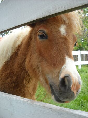 An adult Scottish pony playfully glances at others from behind a white wooden fence. White-brown horse.