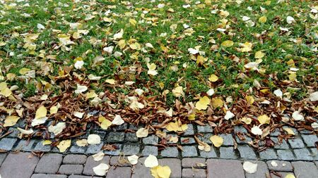 Fallen yellow leaves of linden lie on the outskirts of the park pavers. The beginning of autumn, a lot of green grass on the lawn.
