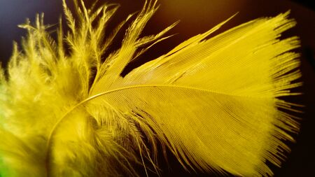 Yellow gentle curved bird feather. The pen is painted for the production of ornamental and decorative handicrafts. Used for holidays, to complement costumes and hats, in the manufacture of souvenirs
