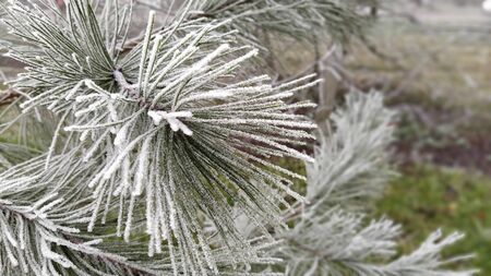Beautiful long pine needles with white hoarfrost. Frozen branches of an evergreen plant. Trees froze in a terrible frost. Ice crystals formed due to high humidity. Imagens