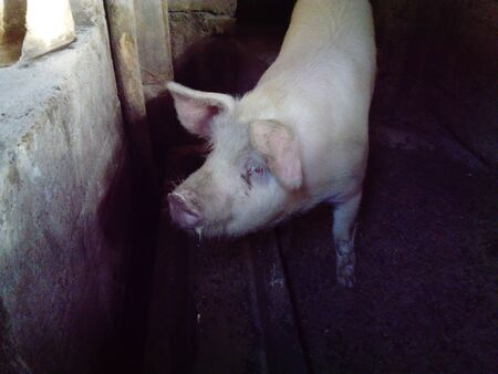 Pig in the stall. A dirty barn where animals are kept. Piglet with a lot of weight. The pig asks not to kill her and not to eat pork. The issue of vegetarianism and healthy eating.