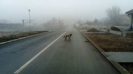 A red dog, similar to a shepherd, stands on a wet asphalt road and looks at you. A friendly, sociable puppy went out of the yard to the street. High humidity and heavy fog. European calm winter