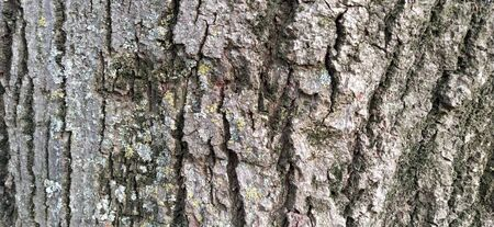 Tree bark. Rough texture of natural material. Cracks on the surface of a tree trunk.