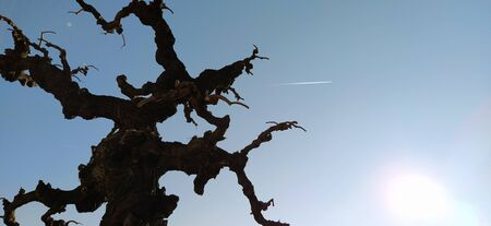 Silhouette of a tree without leaves on a background of blue sky, sun rays and a flying plane. A clear sky shows a trace of jet fuel in the form of a white strip. Bonsai in Kalemegdan, Belgrade, Serbia