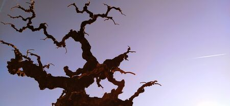 Silhouette of a tree without leaves on a background of blue sky, sun rays and a flying plane. A clear sky shows a trace of jet fuel in the form of a white strip