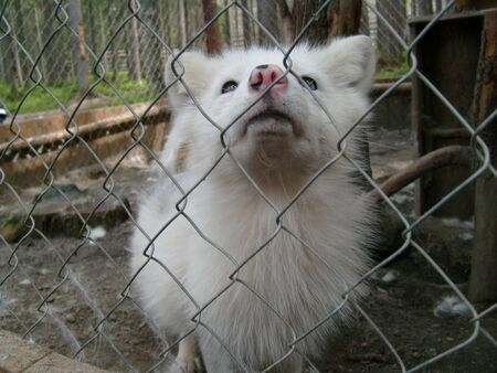 A polar fox with white hair and blue eyes stands in a cage of a zoo or menagerie and looks. An animal in captivity. Black nose and open mouth of a fox. Mesh netting as an aviary fence.