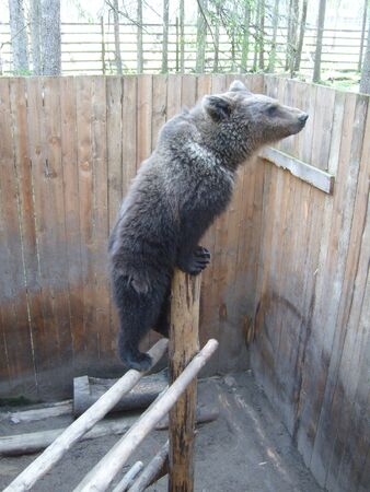 Brown bear at the zoo or menagerie. A large, dangerous, predatory animal climbed onto wooden structures and looks through a wooden fence. In the background is a pine forest.