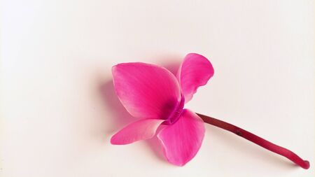 Pink cyclamen flower on a white background. A tender plant is ripped off. Petals turned back, brown stalk, dark core at the flower.