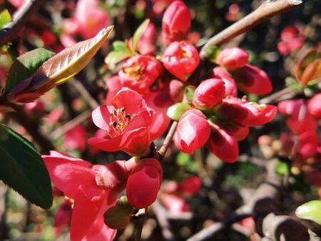 Beautiful pink and red henomeles flowers. Shrub without leaves blooms in early spring. Delicate petals and yellow stamens and pistils with nectar. Greeting card or bouquet. Symbol of awakening nature.