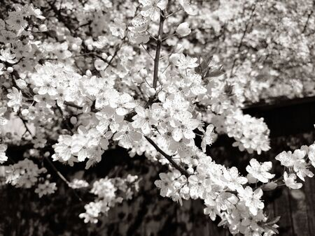 Beautiful white spring flowers. Lushly blooming cherries, apricots, plums. Spring Festival. Japanese tradition. Greeting card, layout or floral background. Delicate petals with pestles and stamens