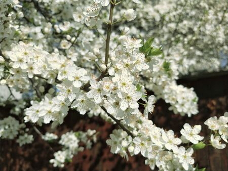 Beautiful white spring flowers. Lushly blooming cherries, apricots, plums. Spring Festival. Japanese tradition. Greeting card, layout or floral background. Delicate petals with pestles and stamens.