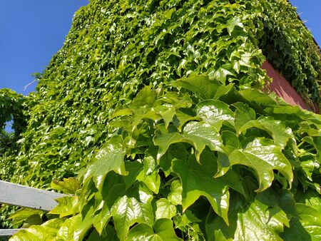 Young leaves of common Ivy Hedera helix in spring. Nature concept for design. Green creeping plant close up as a background. Bright green color. Hedge or wall framing. Facade in greenery.