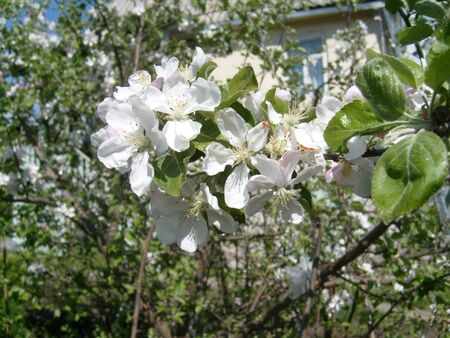 Apple blossom. Closeup of tender white petals and yellow stamens. Spring flowering of fruit trees. Sakura in the garden.