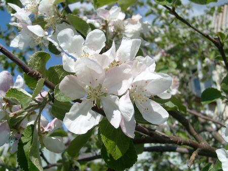 Apple blossom. Closeup of tender white petals and yellow stamens. Spring flowering of fruit trees. Sakura in the park. Фото со стока