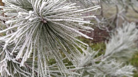 Winter background. A coniferous tree in hoarfrost and snow.