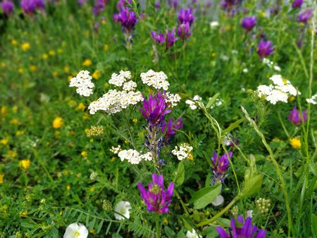 A lawn with purple, white and yellow spring wildflowers in the Balkans. Yarrow closeup in the grass. Honey and medicinal plants. The concept of ecology and natural medicine. Banco de Imagens