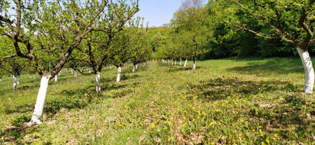 Orchard of young apple trees, painted white, growing in lines in early spring. In the background canal with water. Banner.