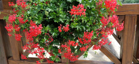 Ivy red geraniums on ethno fence. Pelargonium peltatum is a species of pelargonium known by the common names ivy-leaf geranium and cascading geranium. It is native to Africa