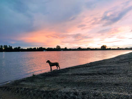 A lonely dog stands in the water and looks at the course of the river. The dog heard a fish in the river and wants to catch it. Evening sunset. Rocky beach in the evening or at night. Colored clouds in the sky.