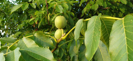 Young walnuts on the tree on natural background. Green walnuts ripening on a walnut tree in summer. Macro shot. Stockfoto