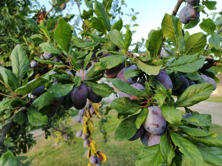 plums on a branch. Purple ripe fruits on a plum tree. Green leaves and a few plums. Harvest Stockfoto