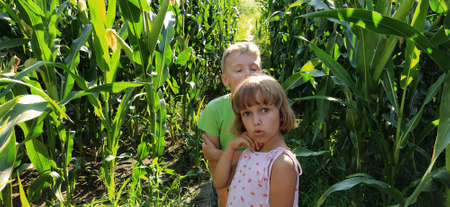 Children in the corn. A boy and a girl of 6 and 7 years old walk along the path between tall corn plants. Playing in the field. Looking into the camera. Summer time. Children with blond hair.