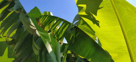 Green Banana leaf in nature, Banana leaf. Tropical palms against the blue sky. Damaged leaves of bright green color. 版權商用圖片