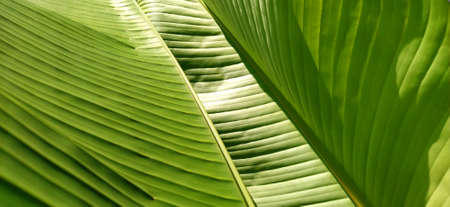Green Banana Leafs. Close up of a palm leaf. Reflection of sun light from a striped surface.