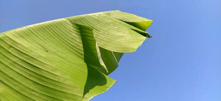 Banana branch and leaf against the blue sky. Tropical natural background. Stock fotó