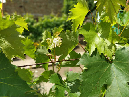 a young vine tied up on metal wires. In the background there is a corrugated plaster wall. Green leaves with sharp edges shine in the sun.